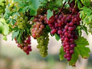 image انگور برای سلامتی چه فایده ای دارد